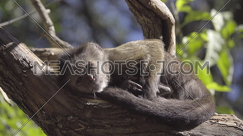 View of cute young Capuchin monkey sunning