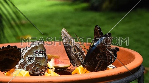 Close up of several beautiful vivid brown and blue tropical rainforest butterflies eating fruits in butterfly garden, low angle view