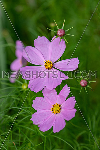 Summer meadow landscape with blooming Cosmos flower, close-up of summer Cosmos flower