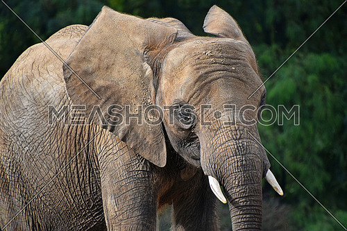 Close up portrait of young African elephant female looking at camera over background of green trees, low angle side profile view