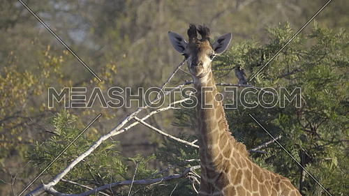 View of a young Giraffe staring at camera