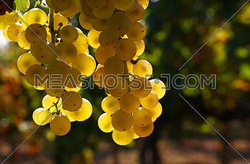 Close up one bunch of autumn ripe white grape hanging at vineyard at sunshine, low angle view
