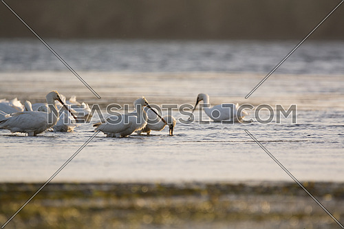 a group of Eurasian spoonbill birds by the water