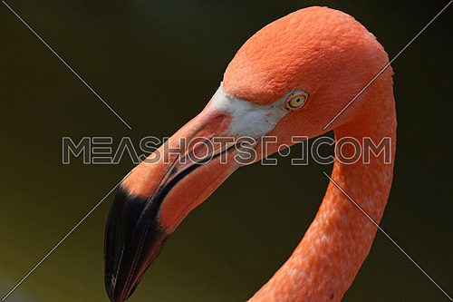 Close up side profile portrait of pink orange flamingo, head with beak, over green background of water, high angle view