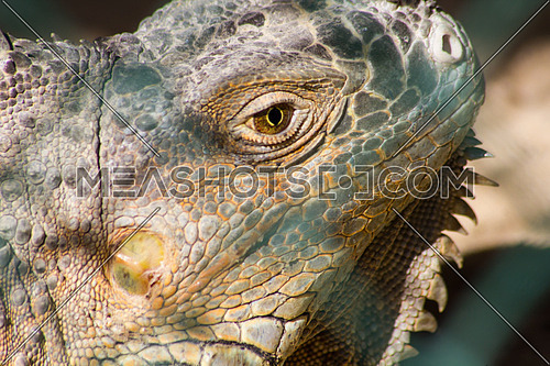 An Iguana head in close up
