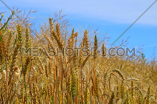 Field of ripe mature and green wheat ears spikes under blue sky