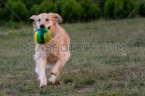 Golden retriever running with a ball. Selective focus on the dog