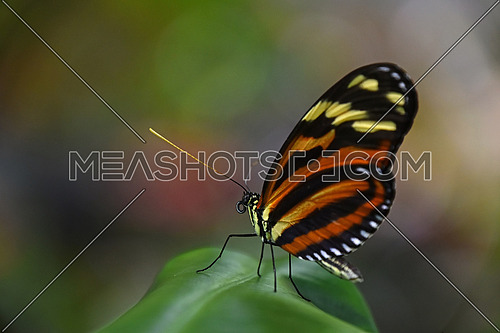 Close up side profile portrait of one beautiful big vivid brown tropical rainforest butterfly with folded wings sitting on leaf, low angle view
