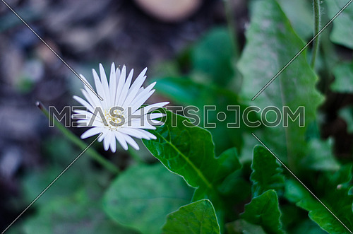 A close up on white rose,  flower