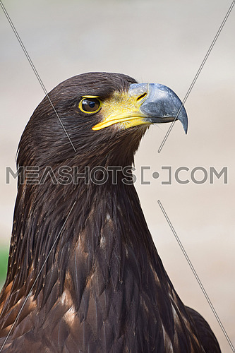 Close up profile portrait of one Golden eagle (Aquila chrysaetos) looking at camera over grey background, low angle side view
