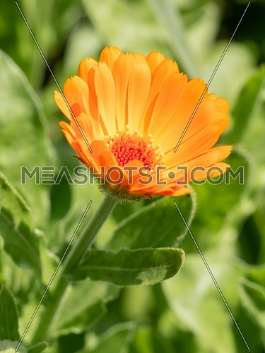 Calendula on the sunny summer day. Close up of Medicinal Calendula herb.