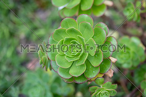 Aeonium simsii (Sweet) Stearn is a succulent plant up to 8 inches (20 cm) tall, with relatively small rosettes of leaves
