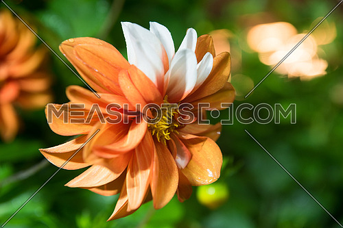 beautiful orange dahlia flower  isolated on black background with rain drops in garden