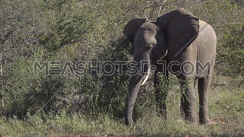 Scene of a young male elephant digging up roots