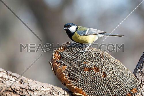 Great tit (Parus major) taking seeds from dry sunflower