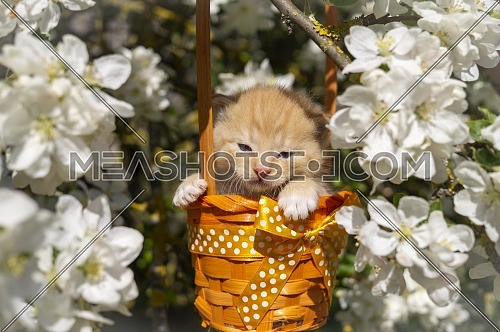 Little ginger kitten in a gift basket with orange ribbon with white polka dots outdoors in a spring garden amongst white flowers