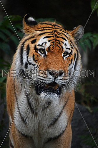 Close up portrait of mature Siberian tiger male