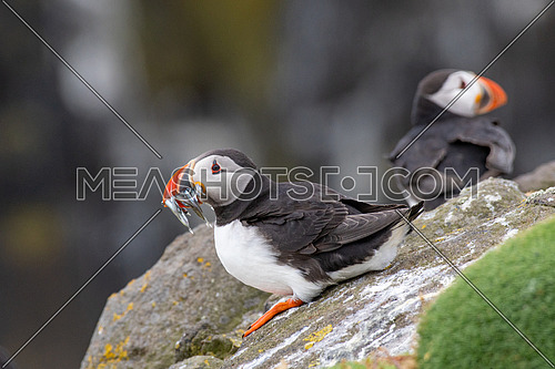 Atlantic Puffins (Fratercula arctica), on cliff's edge at Isle of May, Scotland.