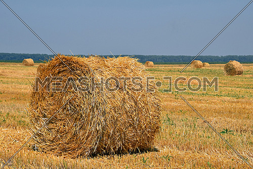 Yellow golden bale of hay straw in stubble field after harvesting season in agriculture, close up