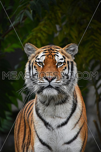 Close up portrait of one young Siberian tiger (Amur tiger, Panthera tigris altaica) looking at camera, low angle view
