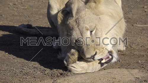View of a lion chewing on a bone from a hunt