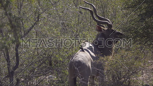 Scene of a bull Kudu grazing on leaves