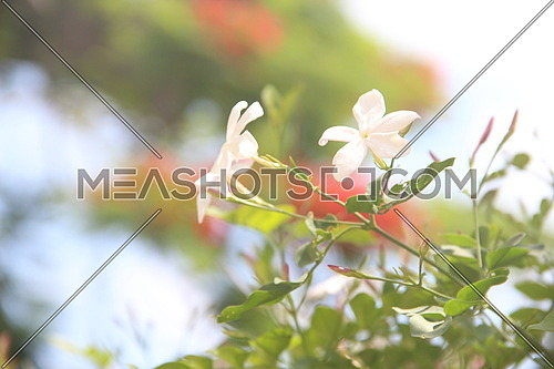 close up for a white flower in a garden