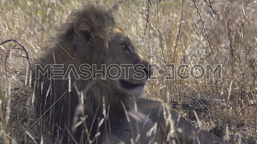 View of a lion resting in the shade