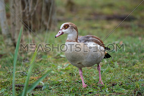 Egyptian goose (Alopochen aegyptiaca)  standing on green grass