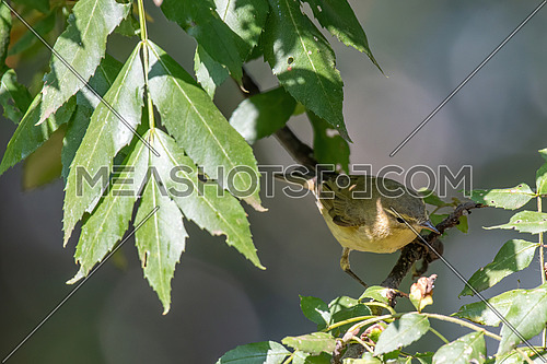Willow Warbler (Phylloscopus trochilus) sitting on tree branch. Little songbird in the scrub.