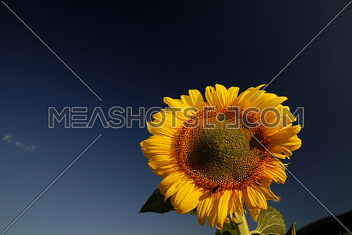 sunflower at sunny day   (NIKON D80; 6.7.2007; 1/100 at f/5.6; ISO 100; white balance: Auto; focal length: 18 mm)