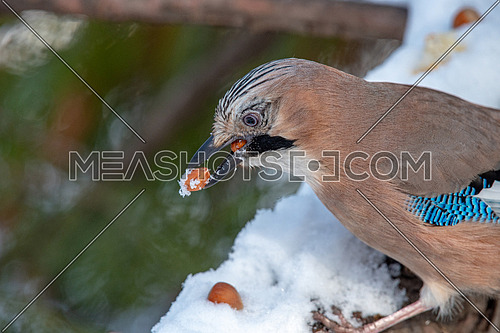 Close up of a beautiful Eurasian Jay taking nuts