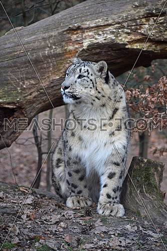 Close up front view portrait of young female snow leopard (or ounce, Panthera uncia) looking away from camera, low angle view