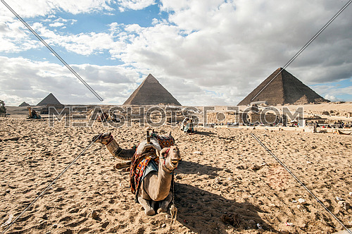 two camels and The Pyramids of Giza in the background - The greatness of the Egyptian civilization  أهرامات الجيزة عظمة الحضارة المصرية