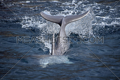 Dolphin tail and fin splash when diving in blue sea water, close up, low angle view