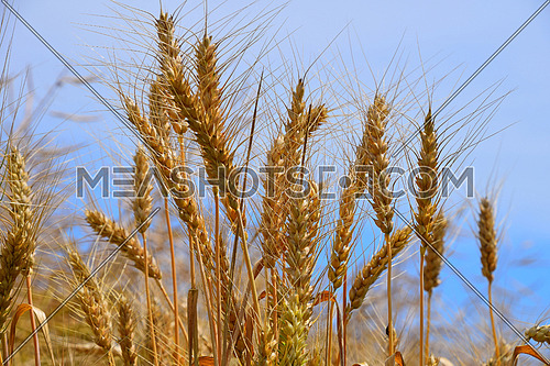 Field of ripe mature wheat ears spikes under blue sky