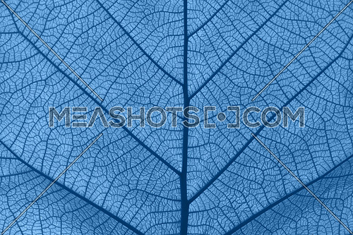 Extreme close up background texture of backlit blue toned leaf veins