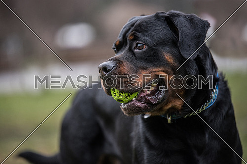Head shot of Rottweiler .selective focus
