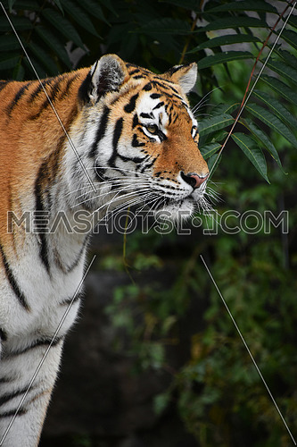 Close up side profile portrait of one young Siberian tiger (Amur tiger, Panthera tigris altaica) looking awauy, low angle view