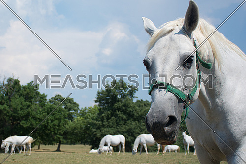 A white horse longing towards the camera, while other horses are in the background in a ranch