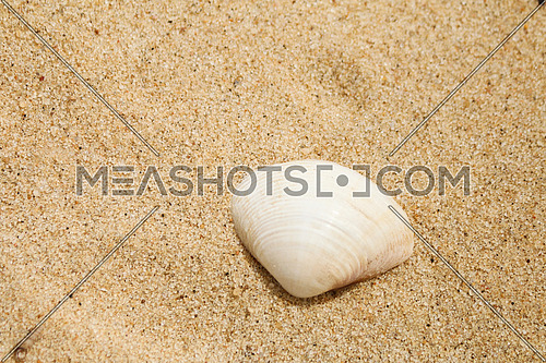 seashell alone on the sand