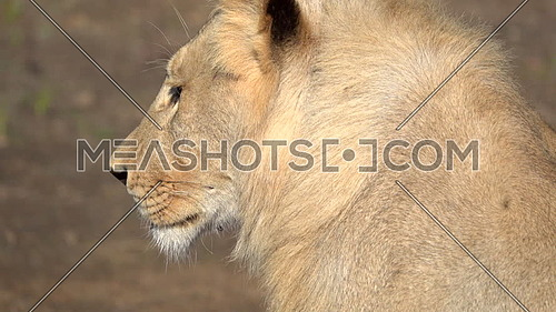 Close side view of a lion