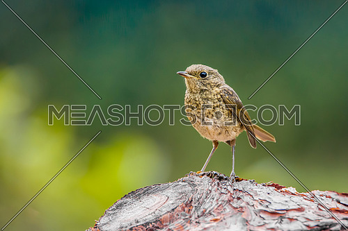 Young European robin (Erithacus rubecula) tweeting on a tree branch in garden.