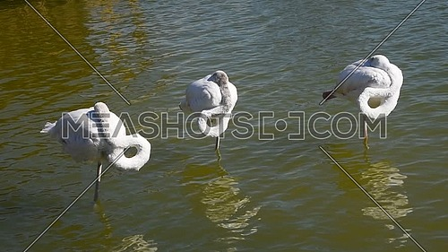 Close up group of three white flamingos standing in rippled water and sleeping hiding heads, high angle view
