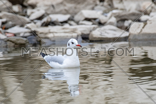 Black-headed gull - Chroicocephalus ridibundus. Wildlife in natural habitat