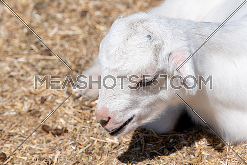 The domestic goat (Capra aegagrus hircus (Capra Domesticus) is a subspecies of goat domesticated from the wild goat of southwest Asia and Eastern Europe