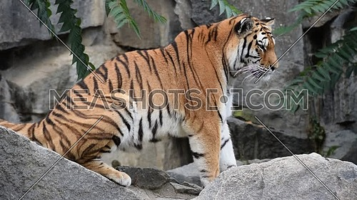 Close up side profile portrait of one young Amur Siberian tiger on the rocks, looking away, low angle view