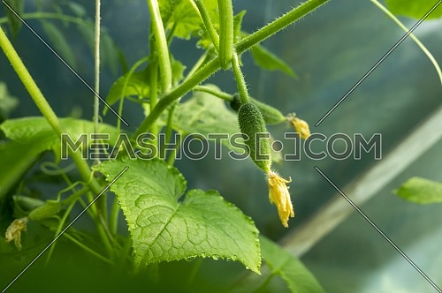 Blossoms attached to young cucumber on the plant outdoors in the vegetable garden