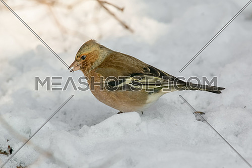 The chaffinch breeds in much of Europe across Asia to Siberia