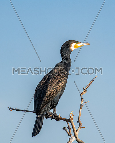 Great cormorant (Phalacrocorax carbo), also known as the great black cormorant